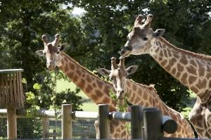 3 girafes