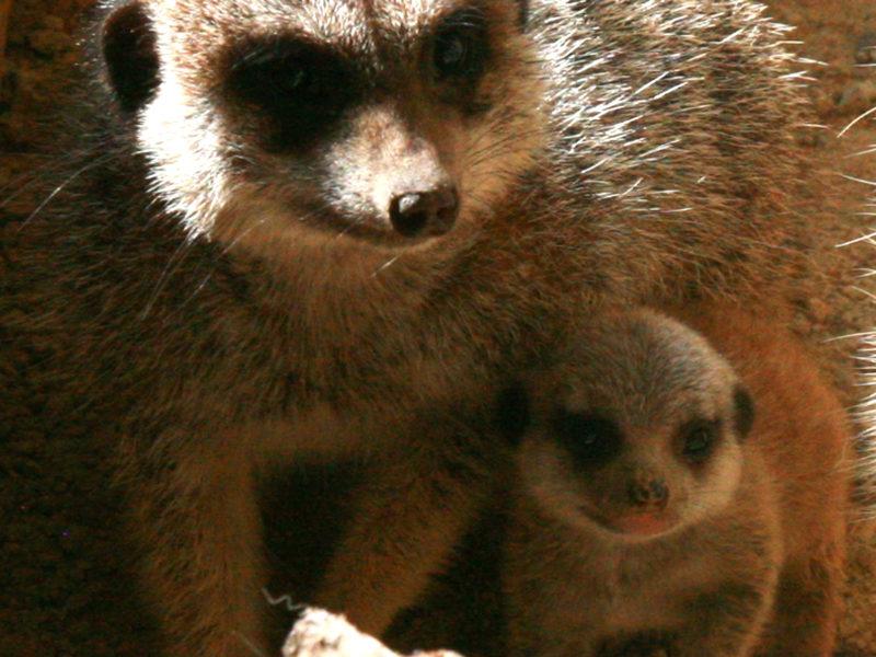 Naissance d'un bébé suricate