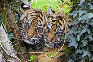 bebe tigres hd