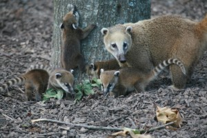 coati-bebes