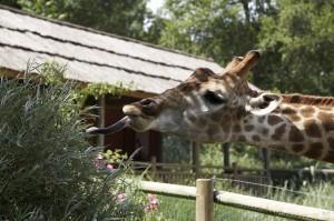girafe tirant la langue