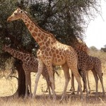 Girafes Niger