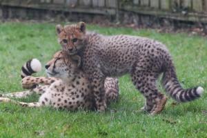 guepard photo 2