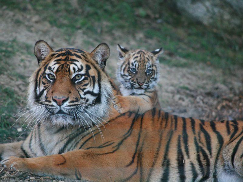 2012 : naissance de Dourga, première femelle tigre de Sumatra née au Parc