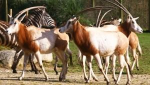 oryx cp avril