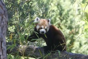 panda+bambous