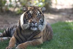 tigre proche