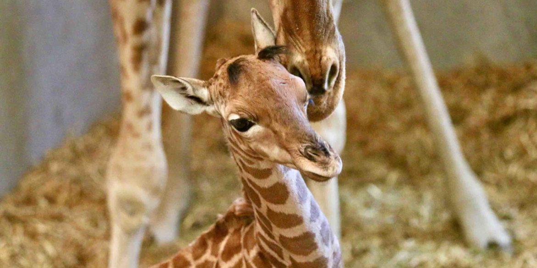 Malia, la reine des girafes