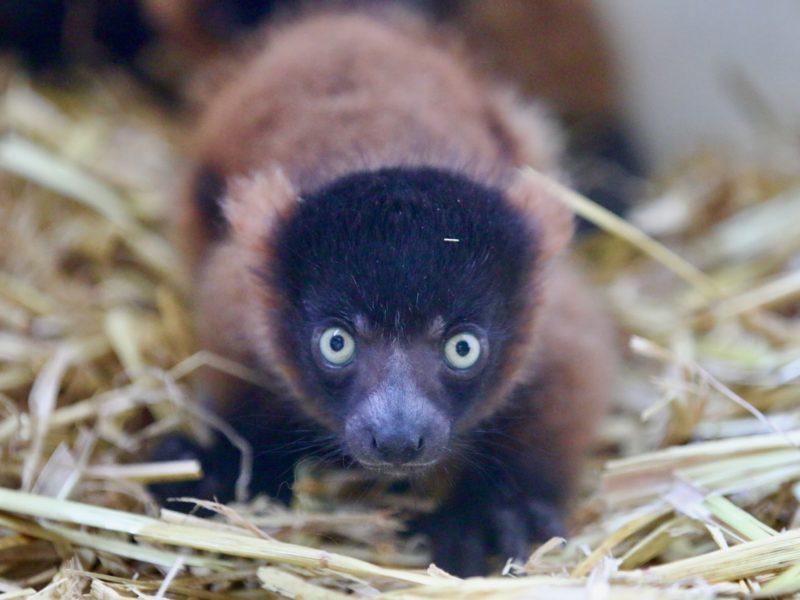 Une nouvelle naissance : 3 bébés Maki Vari Roux