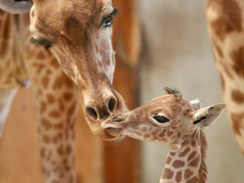 Naissance ! Un second girafon est né