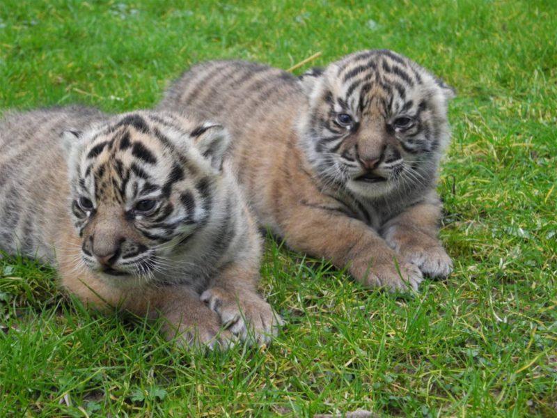 Naissances exceptionnelles de deux bébés Tigres de Sumatra