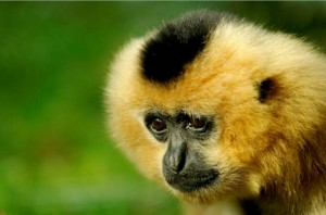 actu_gibbons_1