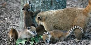 coatis bebes 2