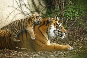 tigrau et sa mere