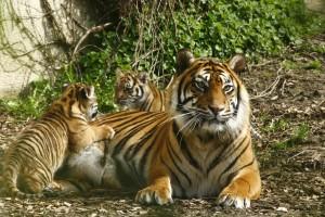 photo tigresse et bébé